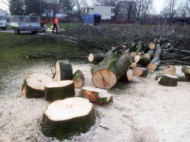 Die Kastanienbäume vor der Plass-Schule werden gefällt